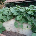 courgettes op de composthoop