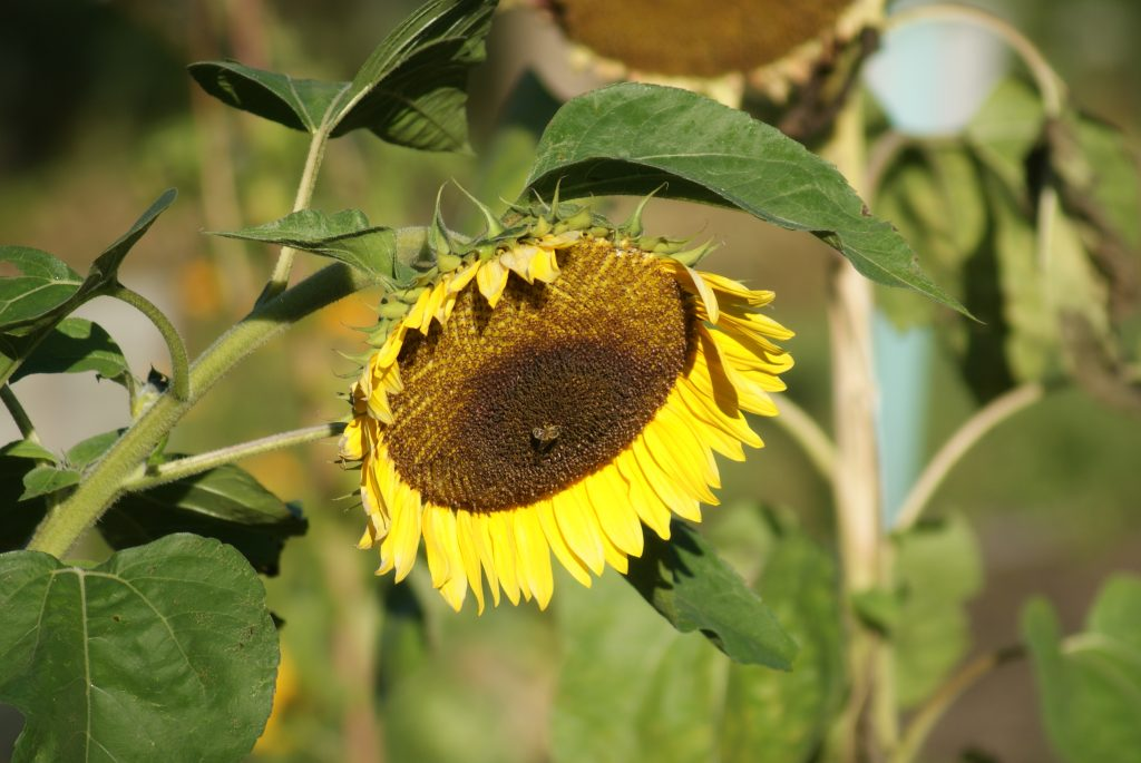 herfstzon, zonnebloem en bij
