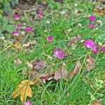 Engels gras