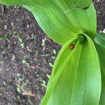 Lieveheersbeest in mais