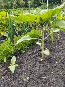 Het verschil tussen het zonnebloemzaadje en het zonnebloemplantje dat we tegelijk geplant hebben is nu ook goed te zien.