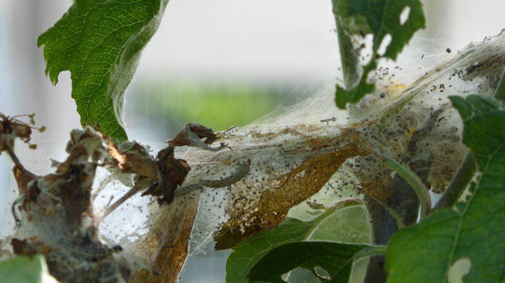 Schooltuin-spinselmot